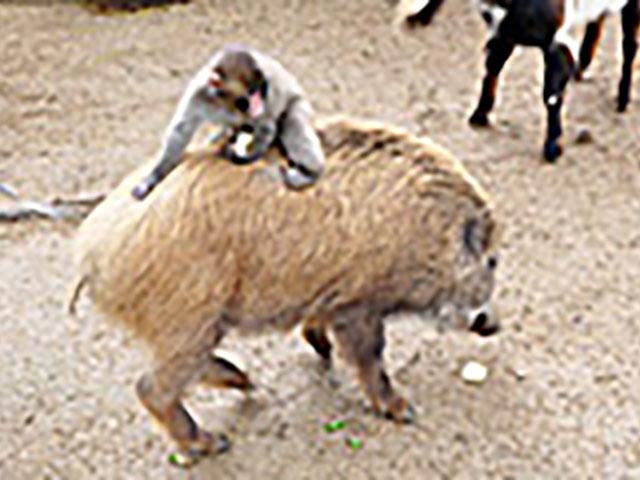 ウリ坊の背中に乗る小ザルの「みわちゃん」で有名になった福知山市動物園