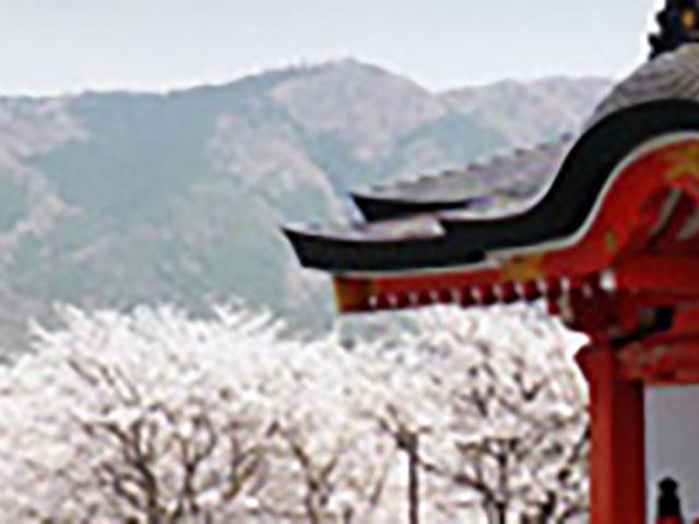 福知山念法寺の桜