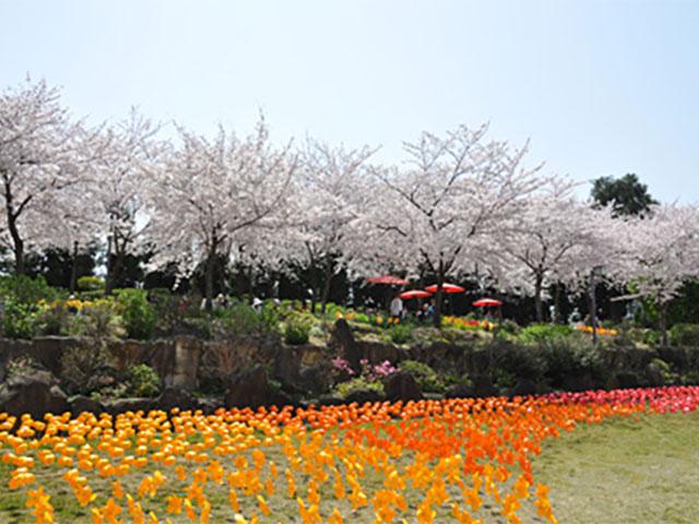 桜と風ぐるまの花畑……まるで極楽です