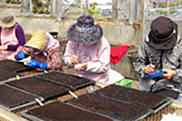 温室ハウスでの種植え作業